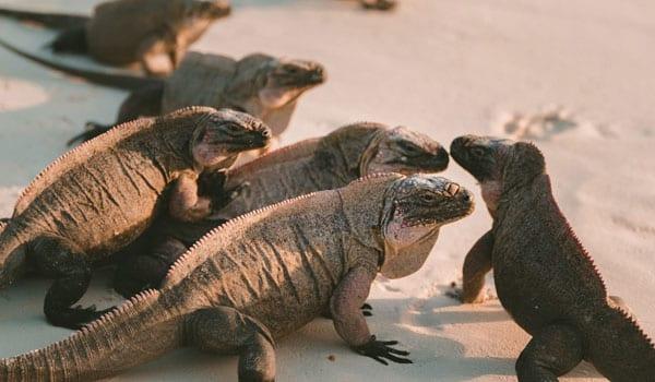 A group bearded dragons on the beach
